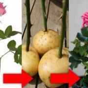 طرز کاشت گل رز با سیب زمینی
